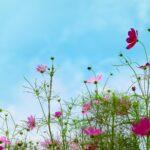 コスモスの種まき時期はいつ?開花時期・季節はいつから?