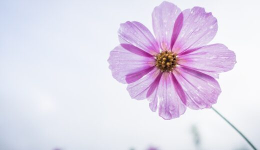 コスモスの押し花&ドライフラワーの作り方!失敗しないコツは?