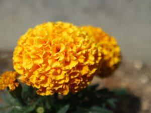 オレンジのマリーゴールド