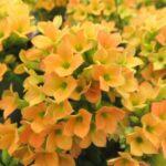カランコエの花が咲かない理由は?咲かすための短日処理の方法