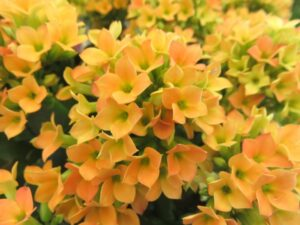 カランコエ ブロスフェルディアナ種 黄色