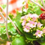 カランコエの種類一覧!品種が豊富な多肉植物?色や別名は?