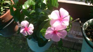 ニチニチソウの鉢植え