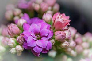 ピンクの八重咲きカランコエ