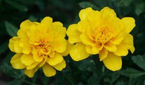 黄色のマリーゴールド