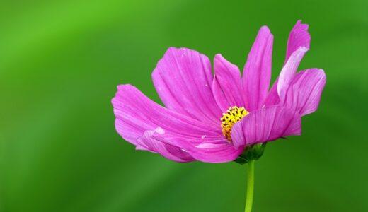 コスモスの花言葉と由来!ピンク,オレンジなど色別の意味は?
