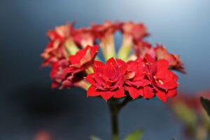 カランコエ 赤 八重咲き