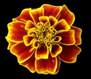 フレンチマリーゴールドの花