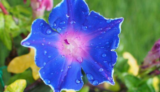 朝顔の開花時期・季節は?いつからいつまで咲くの?