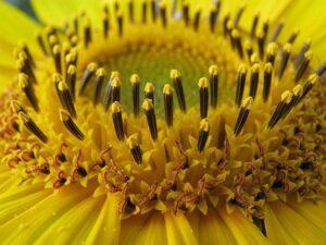 ひまわりのアップ写真 筒状花