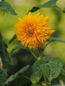 無花粉系のひまわり