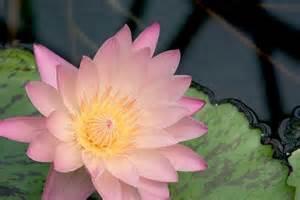 睡蓮の開花時期はいつまで?見頃の季節と名所をご紹介!
