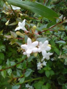 アベリア白花