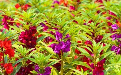 ホウセンカの開花時期・季節は?花が咲かない時の対策は?