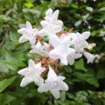 アベリアの花言葉!剪定時期や方法、種類・品種は?