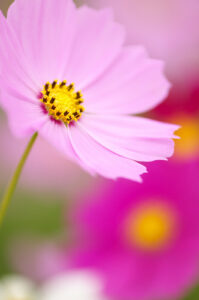 コスモスは秋の花