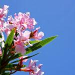 夾竹桃の毒性はどのくらい強い?致死量はどれくらい?