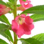 ホウセンカ(鳳仙花)の花言葉!意味と由来を詳しく紹介!