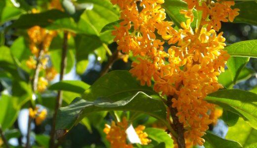 キンモクセイの鉢植えでの育て方!苗木の選び方や植え方は?