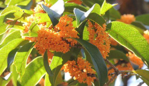 キンモクセイの開花時期・季節は?いつからいつまで咲く?