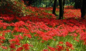 彼岸花な咲いている風景