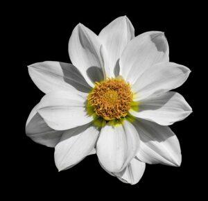 白い色のダリア