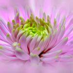 ダリアの花言葉!ピンク,赤,オレンジなど色別の花言葉まとめ