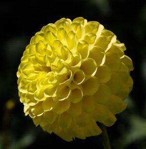 黄色のポンポン咲きのダリア