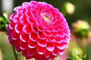 ダリアの種類・品種一覧!ポンポン咲きなど咲き方も違う?