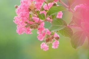 桃色の百日紅の花
