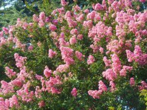 桃色の百日紅