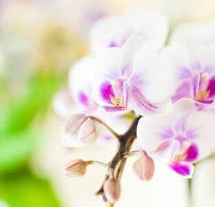 胡蝶蘭の開花時期・季節はいつ?いつからいつまで咲くの?