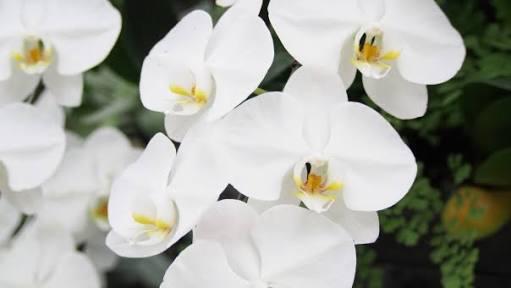 胡蝶蘭の寿命は?長持ちさせる手入れ方法と肥料の選び方