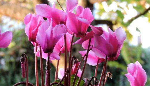 秋の寄せ植えに人気の花まとめ!どんな組み合わせがある?