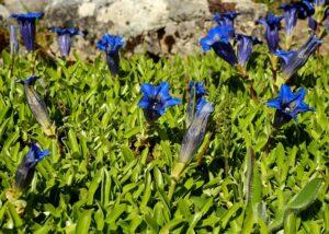 リンドウの青花