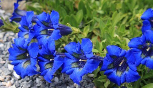 リンドウの種類・品種一覧!見頃の季節や開花時期はいつ?