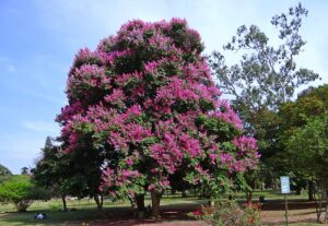 百日紅の木