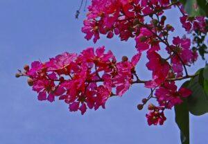 濃いピンクの百日紅