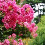 百日紅の花言葉!見頃の季節・開花時期&名所もまとめ!