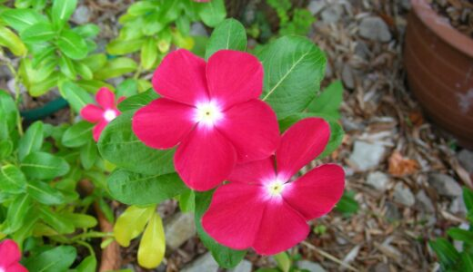 ニチニチソウと寄せ植えで相性OKな花一覧!選び方のコツは?