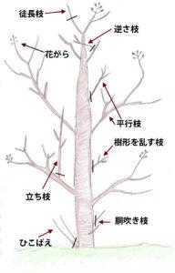 百日紅の剪定の図