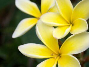 黄色いプルメリア