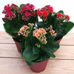 花を楽しむカランコエ