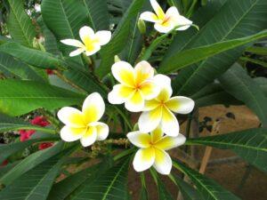 白と黄色のプルメリア