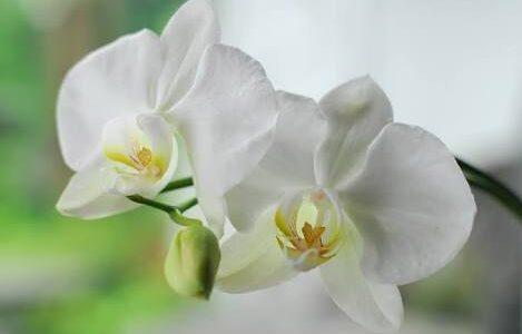 胡蝶蘭の種類・品種一覧!別名,見分け方,色の違いは?