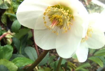 クリスマスローズと寄せ植えで相性OKな花一覧!おすすめはこれ!
