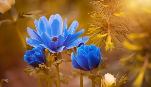 アネモネの花言葉!紫,赤,青などの色別の意味や由来は?