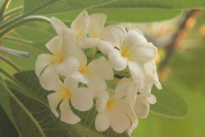 プルメリア 白花