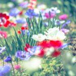 アネモネの季節・開花時期は?いつからいつまで咲く?