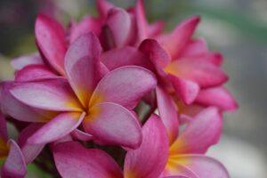 プルメリア 桃色花